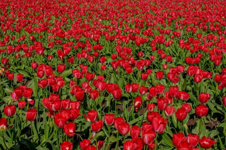Tulip Festival-23.jpg