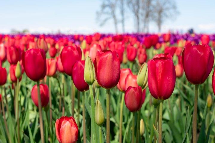 Tulip Festival-6